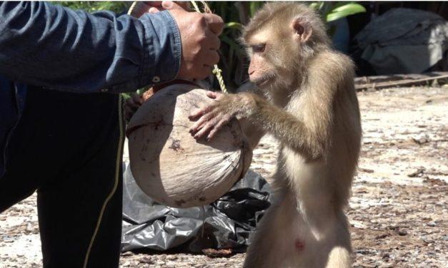 ชาวสวนมะพร้าว ยันไม่ใช้ลิงเก็บ ชี้ส่วนใหญ่แค่การแสดง โอดทำราคาตก
