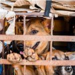 """ประเดิมแล้วในกัมพูชา จังหวัดเสียมราฐ ห้ามค้าและบริโภค """"เนื้อสุนัข"""""""