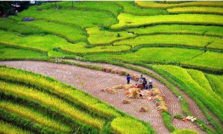 เวียดนามส่งออกข้าว ครึ่งปีแรกพุ่ง19.3% ทำเงินเกิน5หมื่นล้านบาท
