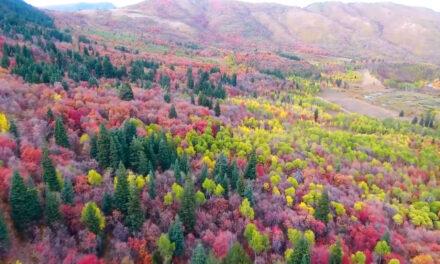 ต้นไหม้เปลี่ยนสีในฤดูใหม่  เมือง Ogden, Utah คลิปถ่ายจากโดรน