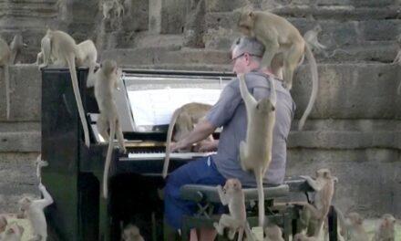 นักเปียโนเล่นเพลงให้ลิงฟังที่ไทย