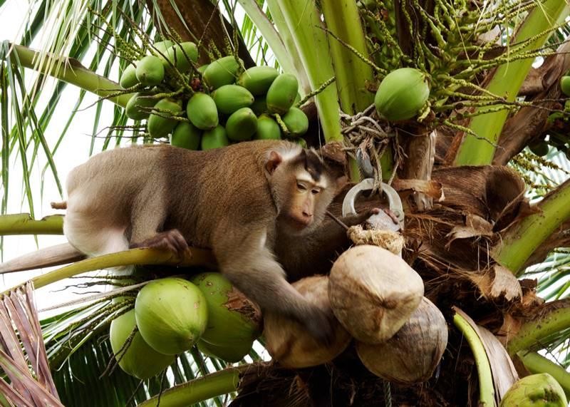 """ความจริงถูกเปิดเผย """"ปัญหาเรื่องของการใช้แรงงานลิงเก็บมะพร้าวและการทารุณสัตว์"""""""