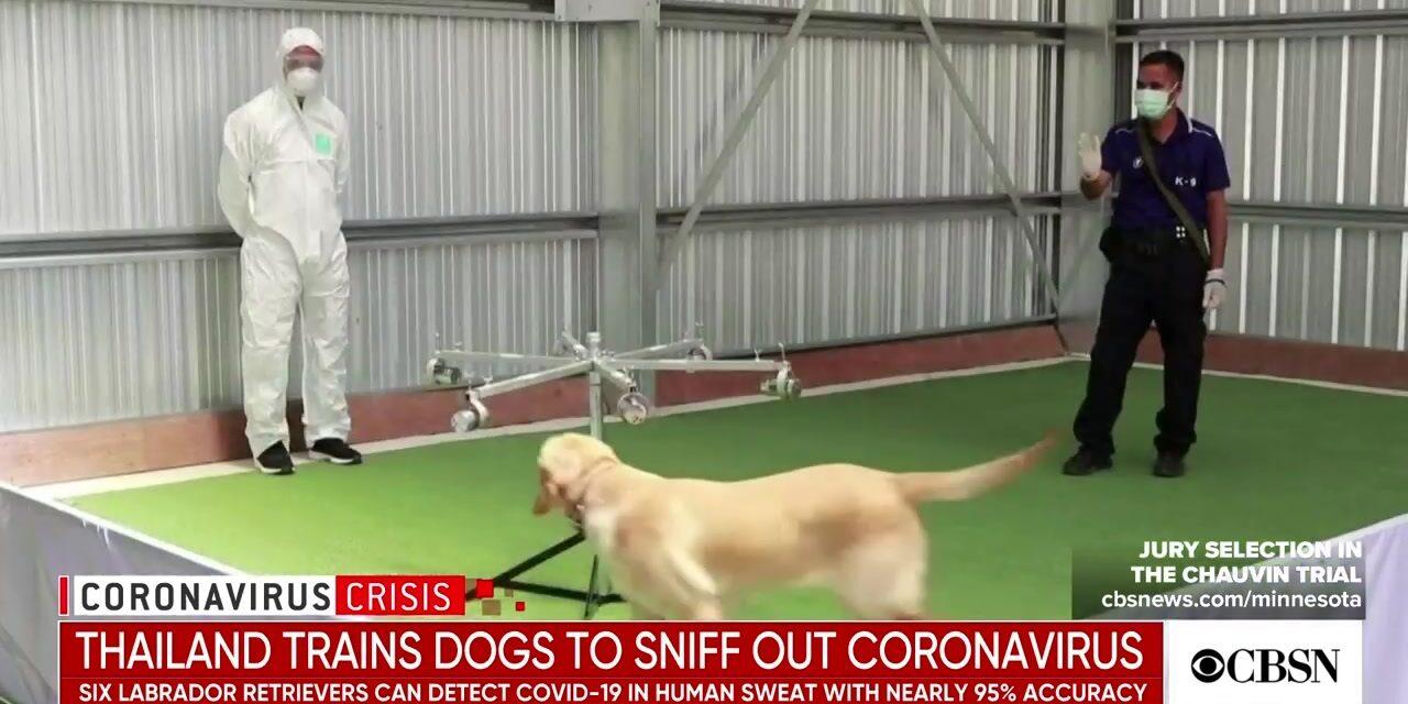 มาพบสุนัขดมกลิ่นโคโรนาไวรัสของไทย