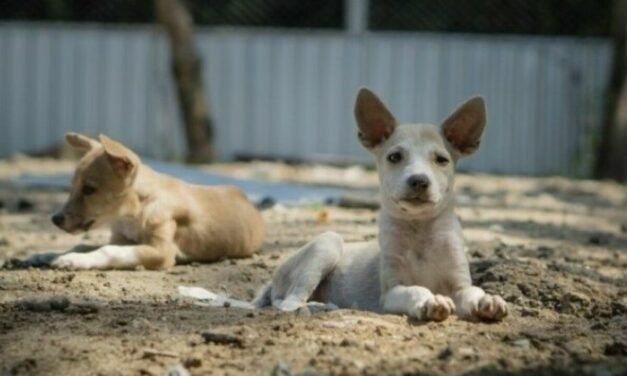 น้องหมา 7 ตัวพึ่งลงเครื่องมาจากเมืองไทย (จากมูลนิธิ Soi Dog ที่อยู่ที่ภูเก็ต)
