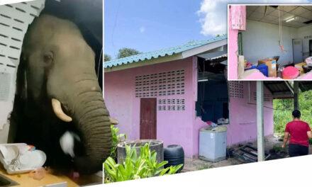 ช้างไทยหิวทุบพังกำแพงครัวบ้านเพื่อขโมยข้าว