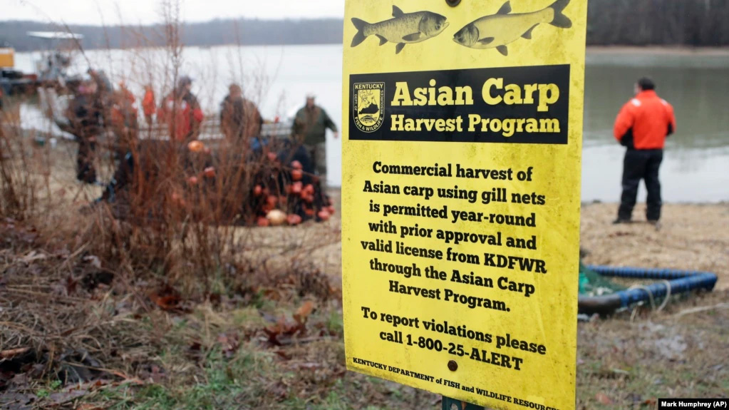 """ครั้งหนึ่งที่สนามบินนครมินนิอาโปลิส ในรัฐมินเนโซต้า ได้มีป้ายเชิญชวนให้ """"Kill Asian Carp"""" หรือฆ่าปลาคาร์พพันธ์ุเอเชีย"""