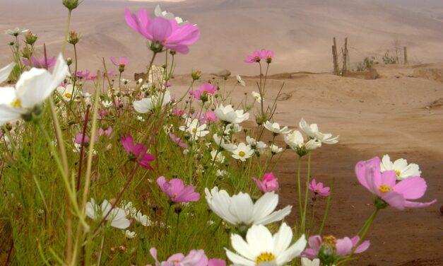หลังฝนตกหนัก ทะเลทรายอาตากามาของชิลี ก็เต็มไปด้วยดอกไม้หลากสีสันนับพันดอก